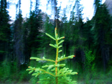 A Spruce Seedling Is Highlighted by the Camera&#39;s Flash at Twilight Photographic Print by Raymond Gehman