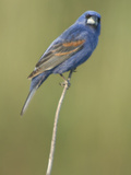 Male Blue Grosbeak, Guiraca Caerulea, in Breeding Plumage Photographic Print by Paul Sutherland