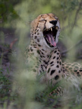 A Cheetah, Acinonyx Jubatus, Yawning Photographic Print by Roy Toft