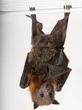 A Vulnerable Grey-Headed Flying Fox, Pteropus Poliocephalus Photographic Print by Joel Sartore