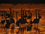 A Group of Caribbean Flamingos in Display Behavior Photographic Print by Klaus Nigge