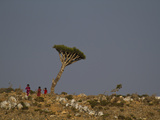 A Dragon's Blood Tree and Local Children on the Diksam Plateau Photographic Print by Michael Melford