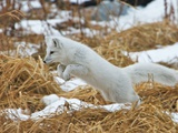 An Arctic Fox, Vulpes Lagopus, Hunting in Brown Grasses Photographic Print by Bob Smith