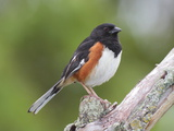Male Eastern Towhee, Pipilio Eurythrophthalmus, on a Branch Photographic Print by George Grall