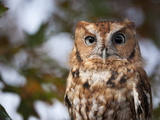A Captive Eastern Screech Owl, Megascops Asio, at Ryerson Woods Photographic Print by Joel Sartore
