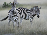 Portrait of a Pair of Zebras, Equus Species, in a Grassland Photographic Print by Bob Smith