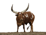 An Ankole Watusi Breed of Cattle Photographic Print by Jim Richardson