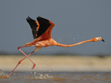 A Caribbean Flamingo Runs to Take Off from Shallow Backwaters Photographic Print by Klaus Nigge
