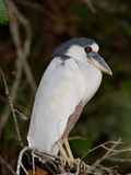 Boat-Billed Heron, Cochlearius Cochlearius Photographic Print by Roy Toft