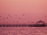 A Flock of Birds Fly around a Fishing Pier During a Pink Sunset Photographic Print by Mike Theiss