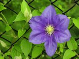 Close Up of a Flowering Clematis Growing on a Chain Link Fence Photographic Print by Darlyne A. Murawski