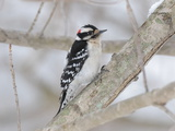 A Downy Woodpecker, Picoides Pubescens, on a Snowy Tree Branch Photographic Print by George Grall