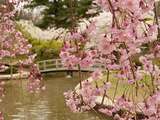 Japanese Garden with Weeping Higan Cherry Blossoms in Foreground Papier Photo par Darlyne A. Murawski