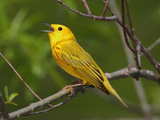 A Male Yellow Warbler, Dendroica Petechia, Singing a Territorial Song Papier Photo par George Grall