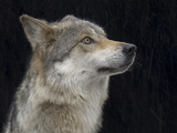 A Mexican Gray Wolf, Canis Lupus Baileyi Photographic Print by Joel Sartore