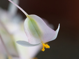 Close Up of a Delicate Pink and Green Begonia Flower Fotografisk tryk af Darlyne A. Murawski