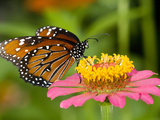 A Butterfly Resting on a Flower Photographic Print by Paul Sutherland