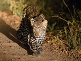A Spotlight Catches a Leopard Walking Down a Dirt Road at Night Photographic Print by Roy Toft