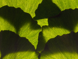 An Arrangement of Ginkgo Leaves, Ginkgo Biloba Photographic Print by Darlyne A. Murawski