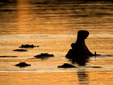 A Group of Silhouetted Hippopotamuses in Water at Sunrise Photographic Print by Roy Toft