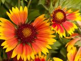 Close Up of Blanket Flowers, Gaillardia Species Photographic Print by Darlyne A. Murawski
