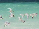 Great Crested Terns Soar Off the Coast of Socotra Island Photographic Print by Michael Melford