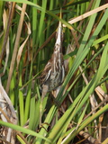 A Green Heron, Butorides Virescens, Hiding Among Wetland Cattails Photographic Print by George Grall