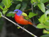 A Male Painted Bunting, Passerina Ciris, Perched, Listening for Song Reproduction photographique par George Grall