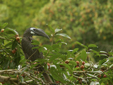 Bushy-Crested Hornbill, Anorrhinus Galeritus, in Strangler Fig Tree Papier Photo par Tim Laman