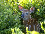 A Day-Old White-Tailed Deer, Odocoileus Virginianus, Hiding in Shrubs Photographic Print by Paul Sutherland