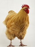An Orpington, a Rare Breed of Chicken from Tatton Park Farm Fotografiskt tryck av Jim Richardson