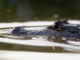 A Partially Submerged Spectacled Caiman, Caiman Crocodilus Corcodilus Photographic Print by Roy Toft