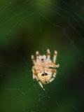 An Orb Weaving Spider in the Center of it's Web Photographic Print by James Forte