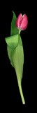 High Resolution Scan of a Tulip Photographie par Amy &amp; Al White &amp; Petteway
