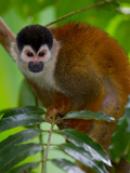A Central American Squirrel Monkey, Saimiri Oerstedii, in a Tree Photographic Print by Roy Toft