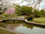 Japanese Garden with Cherry Trees, Pond and Footbridge in Springtime Fotografisk tryk af Darlyne A. Murawski