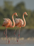 A Pair of Caribbean Flamingos in Display Behavior Fotografisk tryk af Klaus Nigge