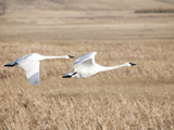 A Trumpeter Swan Pair with Four Cygnets, Cygnus Buccinator Photographic Print by Greg Winston