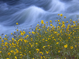 Wildflowers Grow Along the Merced River Photographic Print by Michael Melford