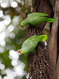 Two Red-Lored Amazon Parrots, Amazona Autumnalis Photographic Print by Roy Toft