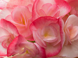 Close Up of a Cluster of Begonia Flowers, Begonia Species Photographic Print by Darlyne A. Murawski