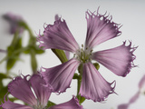 Federally Endangered Fringed Campion Flowers, Silene Polypetala Photographic Print by Joel Sartore