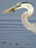 Juvenile Great Blue Heron, Ardea Herodias, with a Sunfish in its Beak Photographic Print by Paul Sutherland