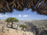 Dragon's Blood Trees Grow in Scattered Groves Photographic Print by Michael Melford
