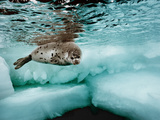 A Harp Seal Swimming in Ice-Filled Water Fotografisk tryk af Brian J. Skerry