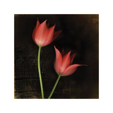 Species Tulips Giclee Print by Rick Filler