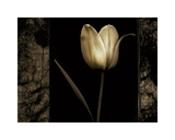 White Tulipa I Giclee Print by Rick Filler