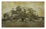 Sugarmill Oak, Louisiana Prints by William Guion