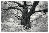 Portrait of a Tree, Study 12 Prints by Marcin Stawiarz