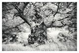 Portrait of a Tree, Study 1 Print by Marcin Stawiarz